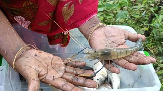 Cast Net Fishing - Traditional Catching Fish With A Cast Net - Village Fishing (Part-464)