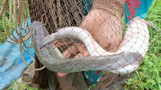 Cast Net Fishing - Net Fishing in Village - Hand Fishing For Catfish (Part-426)