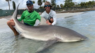 Giant Bull Sharks at the Docks