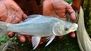 Cast Net Fishing in Village - Traditional Cast Net Fishing in Village (Part-503)